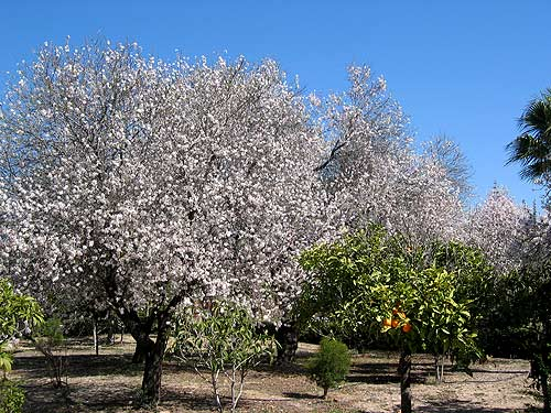 Blossomed almond trees January Paphos Cyprus