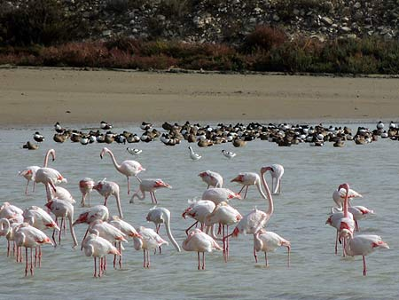 Flamingos in Larnaca salt lake