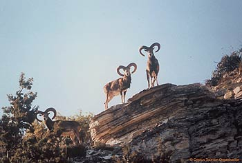 Agrino - Cyprus mouflon, wild sheep only found in Cyprus